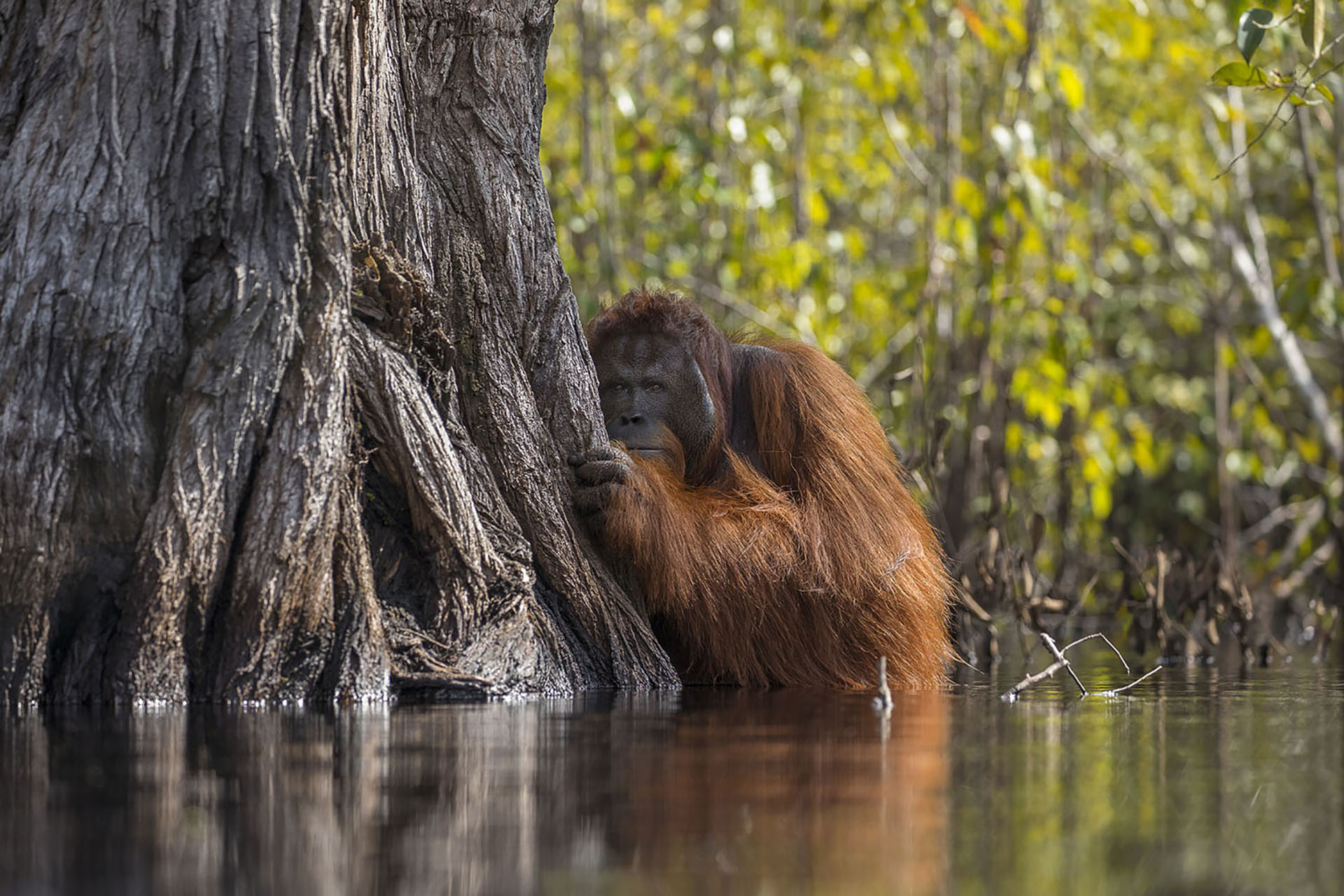 While looking for wild orang-utans in Tanjung putting national park, Indonesia, we witnessed this amazing sight of this huge male crossing a river despite the fact there were crocodiles in the river. Rapid palm oil farming has depleted their habitat and when pushed to the edge these intelligent creatures have learnt to adapt to the changing landscape, This is proof considering orang-utans hate water and never venture into a river. I got into the 5 feet deep river to get this perspective.