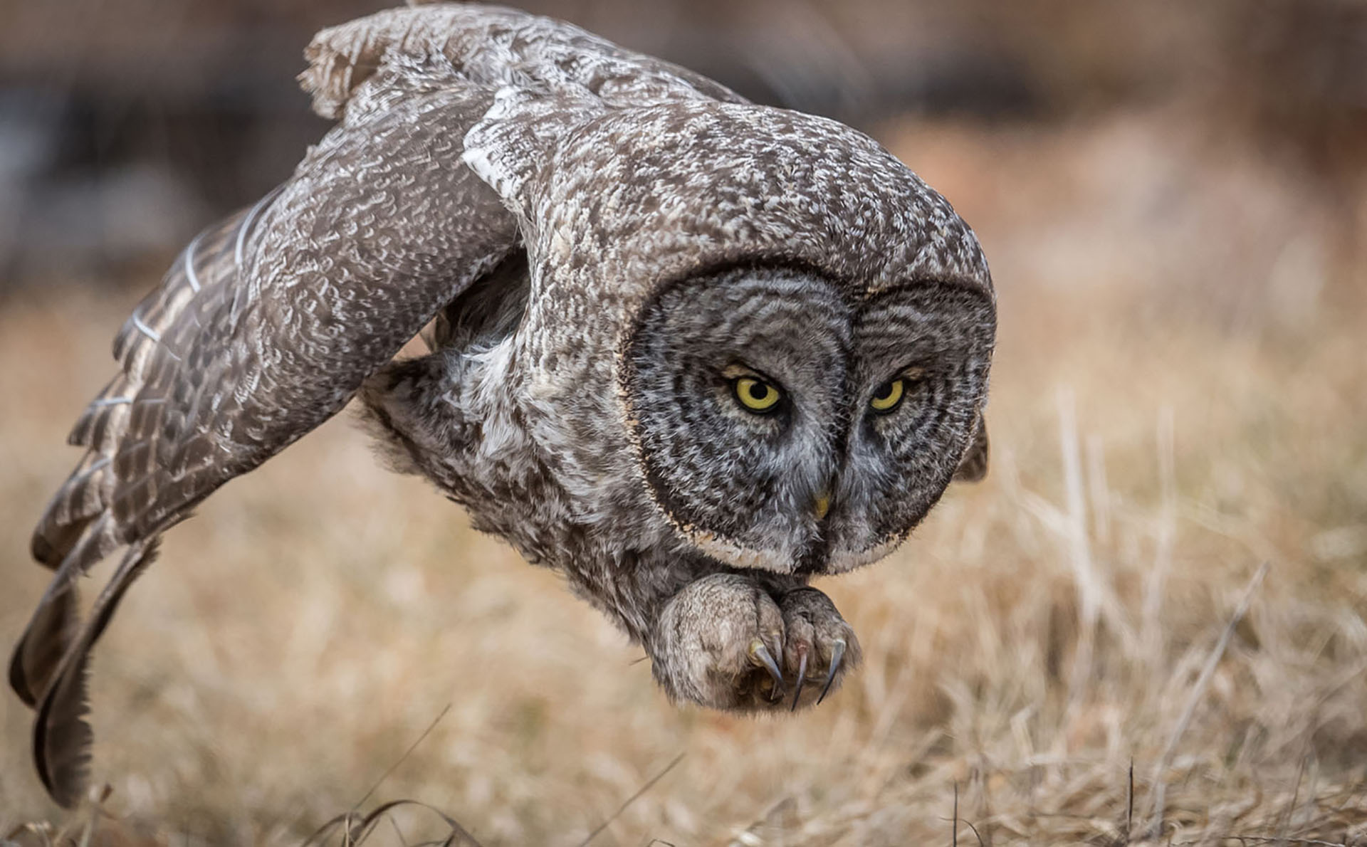 A great gray owl hunting rodents in a field in New Hampshire, US. This bird was a rare visitor to this area and was worth the 7 1/2 hour drive to see it. The owl was not baited or called and this photo is during a natural hunt. Baiting has become a hot topic recently and it is very unfortunate that many people do it for the sake of a photo. With these owls in particular if you are patient enough you will see them hunt. They are not shy nor very intimidated by people.