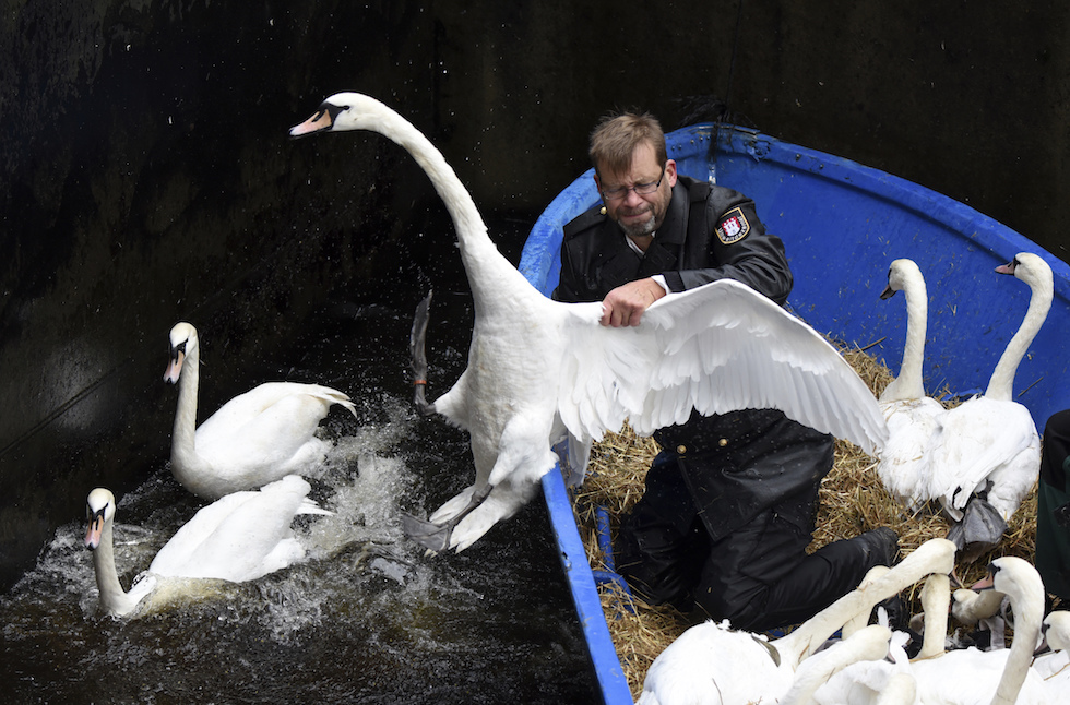 Un addetto al trasporto dei cigni nel loro riparo invernale mentre cerca di prenderne uno sul fiume Alster, Amburgo (Daniel Bockwoldt/dpa via AP)