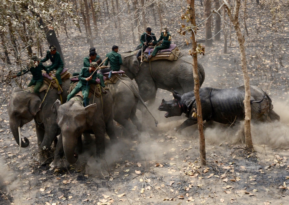Un rinoceronte appena trasferito nel Shuklaphanta National Park in Nepal carica la squadra di addetti del parco in sella a degli elefanti  (PRAKASH MATHEMA/AFP/Getty Images)