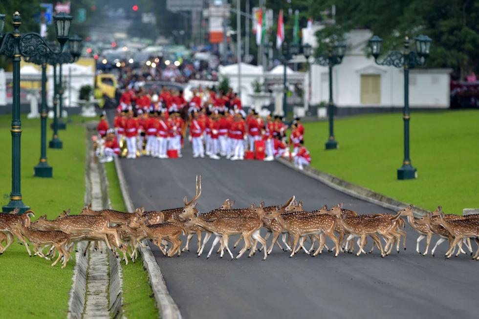 Un branco di cervi passa di fronte alla guardia d'onore indonesiana in attesa dell'arrivo del re dell'Arabia Saudita Salman bin Abdul Aziz in visita a Bogor, in Indonesia (ADEK BERRY/AFP/Getty Images)