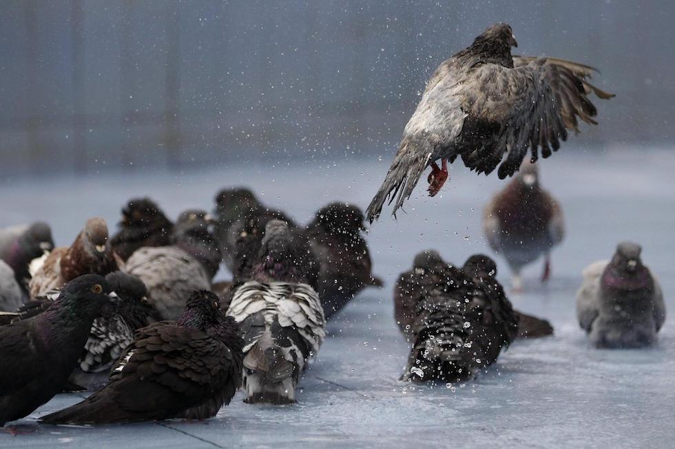 Un gruppo di piccioni a Cali, in Colombia (EPA/Christian Escobar Mora)