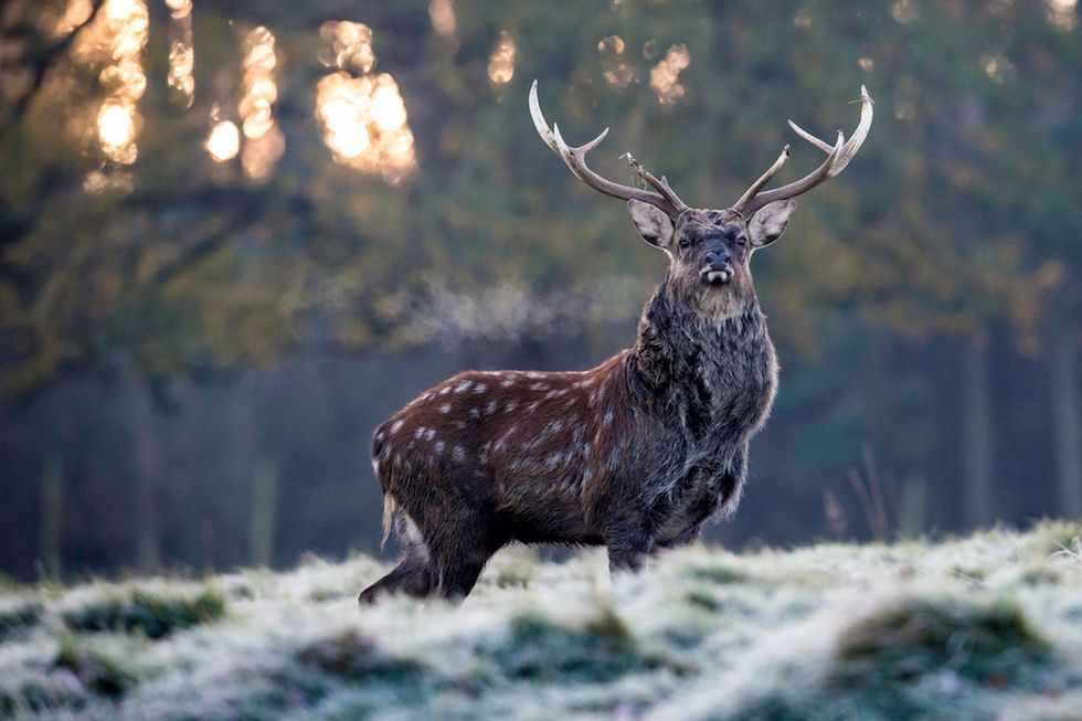 Un cervo in un parco vicino a Ripon, Inghilterra (LINDSEY PARNABY/AFP/Getty Images)
