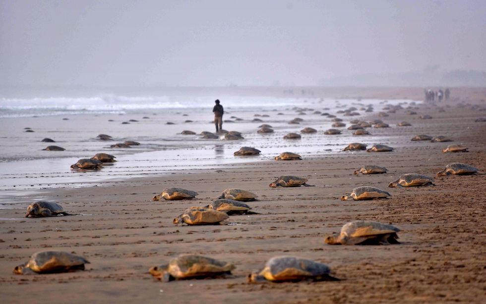 Tartarughe bastarde olivacee (Lepidochelys olivacea) tornano in mare dopo aver depositato le loro uova nella spiaggia di Rushikulya, che è uno dei tre siti di nidificazione di massa nello stato indiano costiero di Orissa (ASIT KUMAR/AFP/Getty Images)