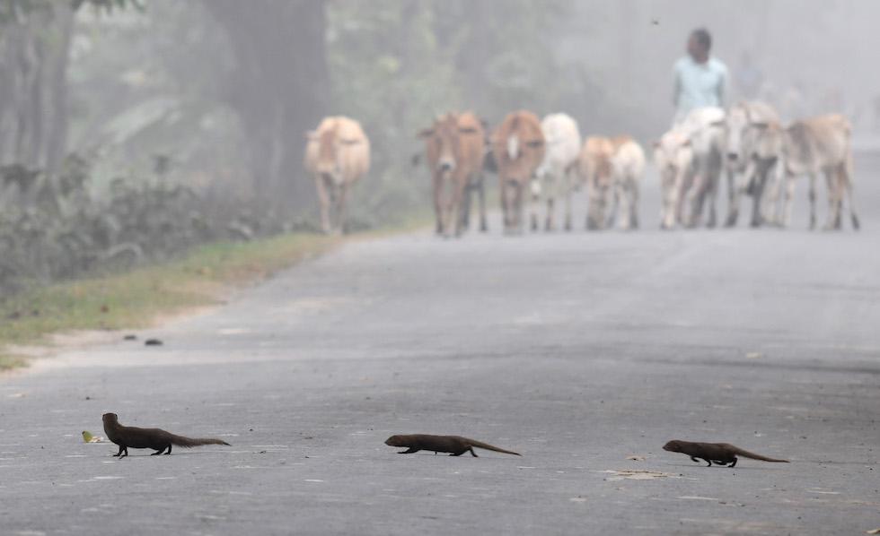 Tre manguste indiane attraversano la strada prima dell'arrivo di un pastore e delle sue mucche, nel villaggio di Pobitora, in India (BIJU BORO/AFP/Getty Images)