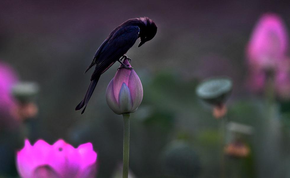 Un uccello su un fiore di loto chiuso a Tangshu, nella contea di Shucheng (Cina) (© Tao Ming/Xinhua via ZUMA Wire)
