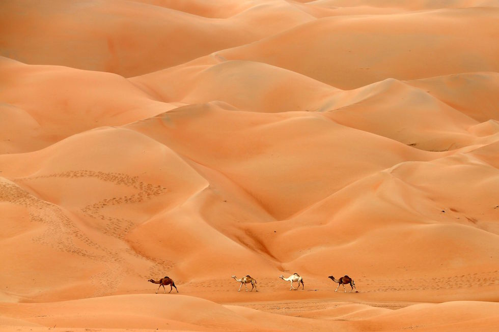 Cammelli nel deserto di Hameem, negli Emirati Arabi Uniti (KARIM SAHIB/AFP/Getty Images)