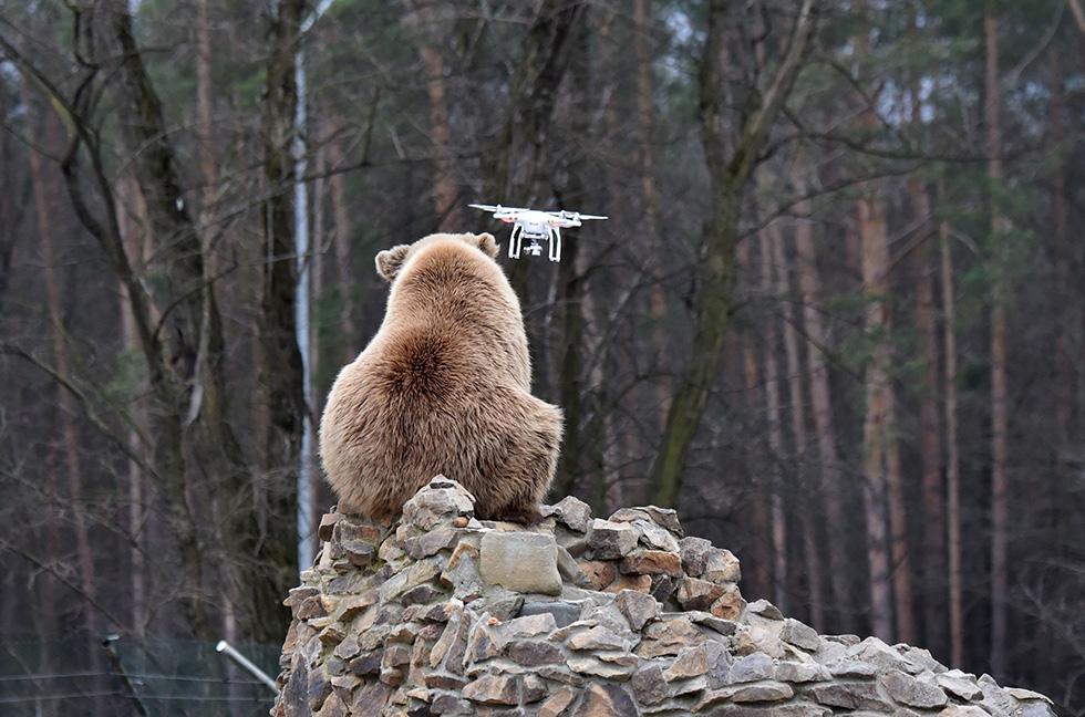 Un orso bruno osserva un drone guidato da un visitatore del rifugio per animali recuperati dai circhi e ristoranti, vicino a Zhytomyr, in Ucraina (SERGEI SUPINSKY/AFP/Getty Images)
