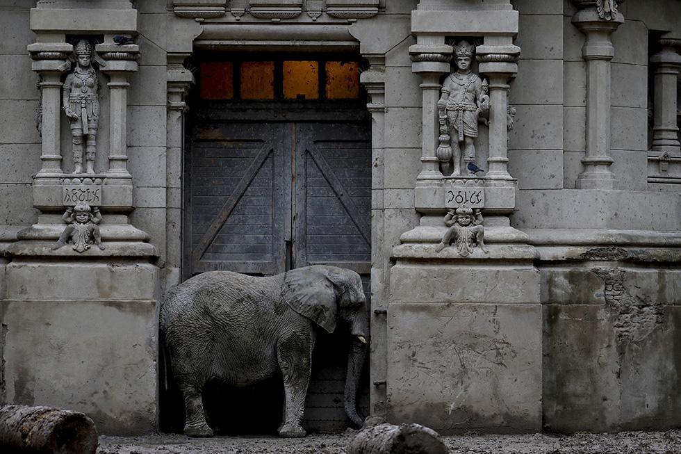 Un elefante africano nel suo spazio al parco zoologico di Buenos Aires, il 12 maggio 2017 (AP Photo/Natacha Pisarenko)