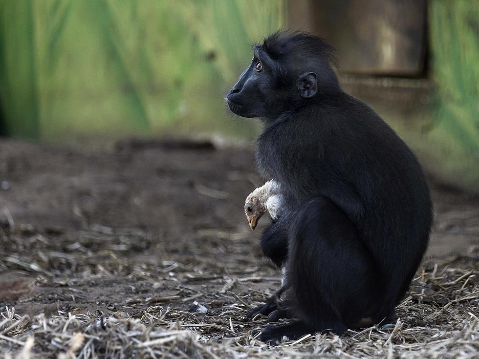 Un macaco nel parco safari di Ramat Gan vicino a Tel Aviv tiene il pulcino che ha