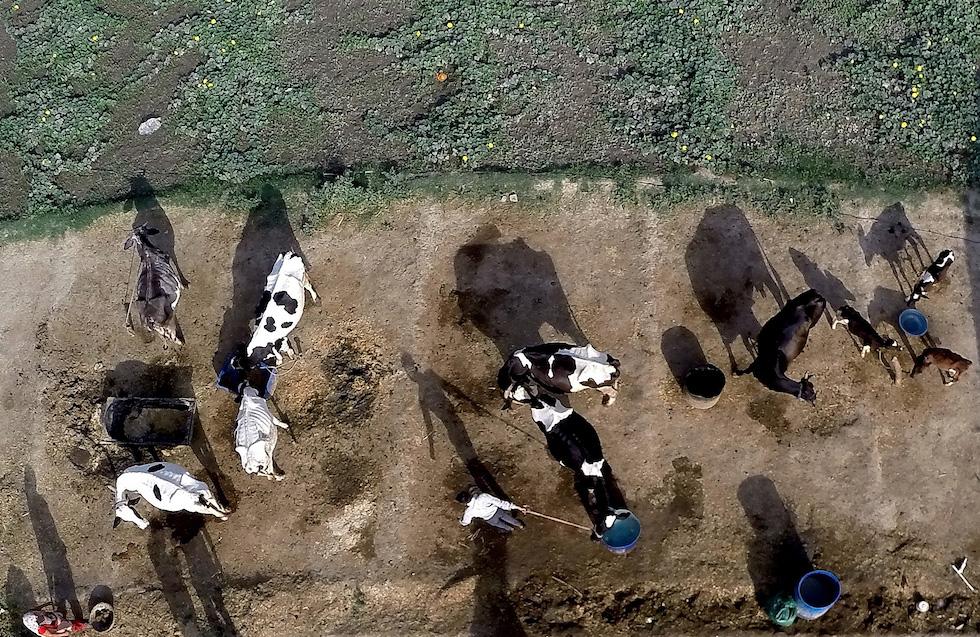 Un uomo accudisce le mucche e i bufali nella sua fattoria a New Delhi. Per contrastare il contrabbando di bestiame, l'India potrebbe etichettare milioni di mucche con numeri identificativi collegati a un database nazionale  (PRAKASH SINGH/AFP/Getty Images)